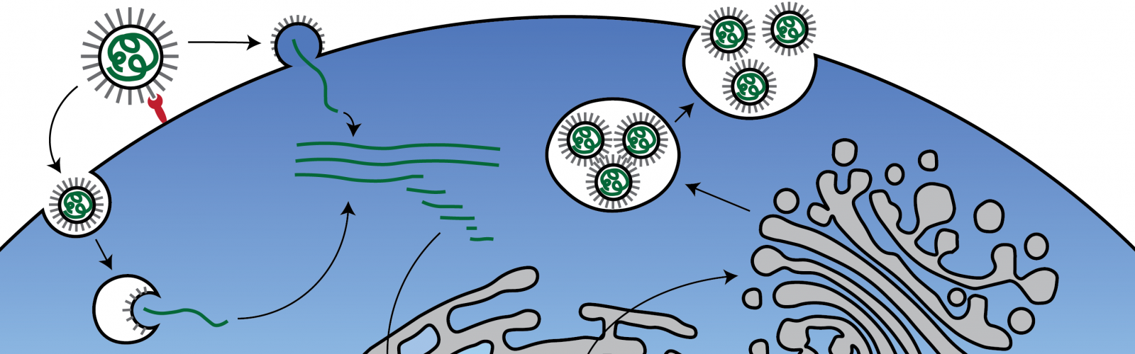 coronavirus replication cycle